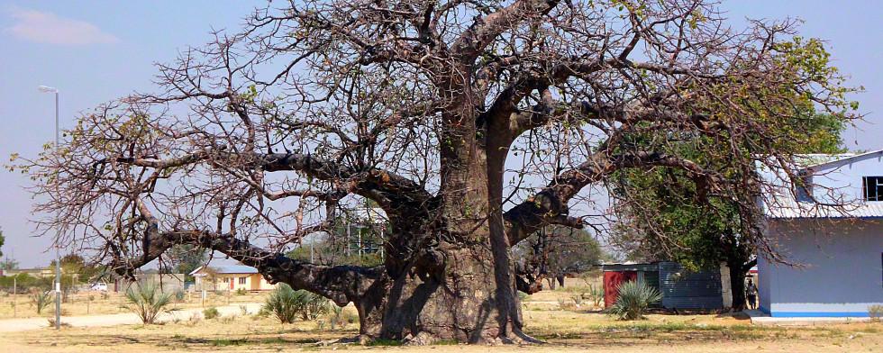 Baobab – die afrikanische Superfrucht lesen