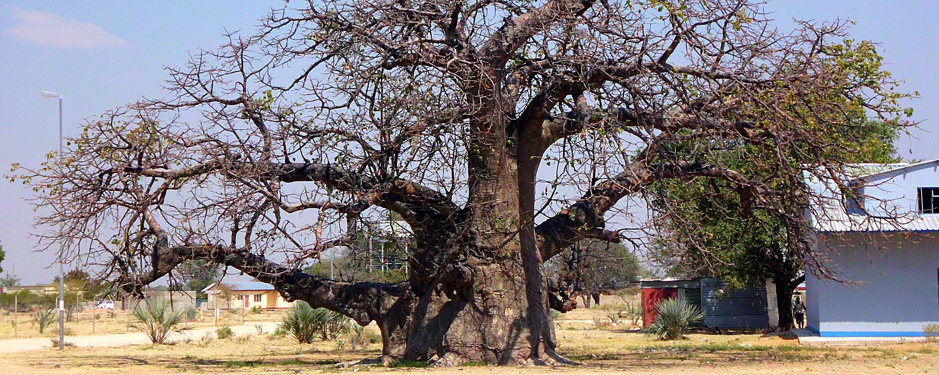 Der mächtige Baobab-Baum – das Sinnbild der afrikanischen Savanne. Dieser Baum steht in Namibia.